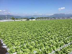 ③収穫間近のレタス畑029.jpg