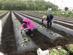 011サツマイモ植え.jpg