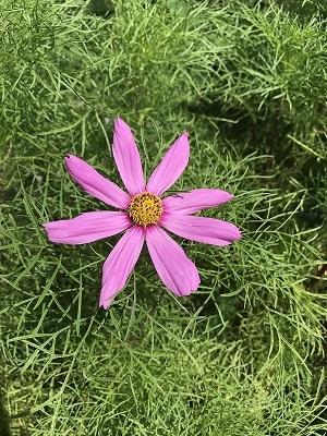 044コスモスの花.jpg
