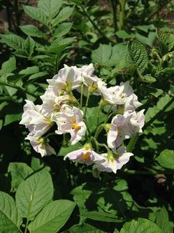 IMG_2566ジャガイモの花.jpgのサムネール画像