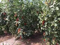隣の畑のミニトマト小.jpg